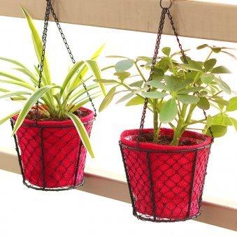 Hanging Spider Saplera Combo - Foliage Plant Indoors in Hanging Bucket