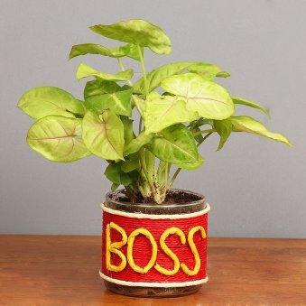 Syngonium Plant for Boss