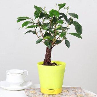 Imported Ficus Bonsai Plant