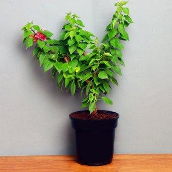 Incredibly Beautiful Bouganvillea Plant