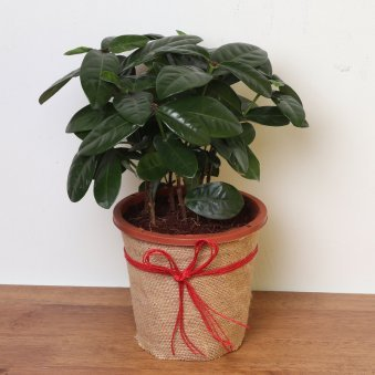Ixora Plant in Jute Packing