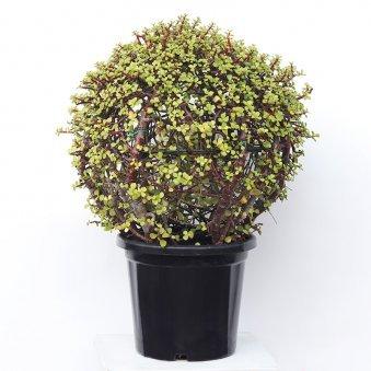 Ball Shaped Jade Bonsai With Black Pot