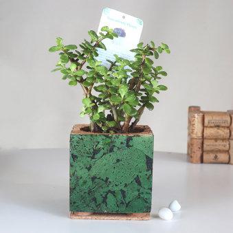 Jade Plant In Advance Cork Square Vase: Succulent and Cactus