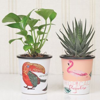 Lucky Money Plant Combo| Good Luck/Succulent, Printed Hydrponic Self Watering Vase