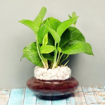 Money Plant in a Glass Vase