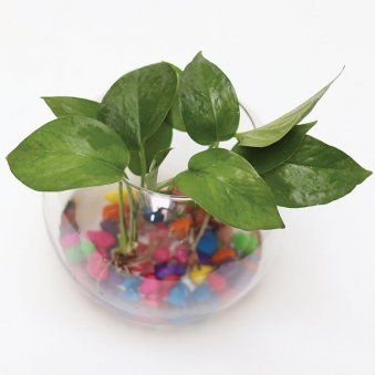 Money Plant| Good Luck, Gola Glass Vase