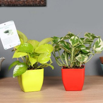Money Pothos Plant Combo - Good Luck Plant Indoor in Blossom Vases