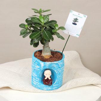 Monk Adenium Bonsai : Flowering