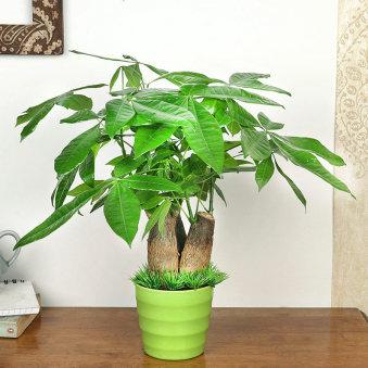 Pachira Money Tree Plant in a Printed Mug for Mom