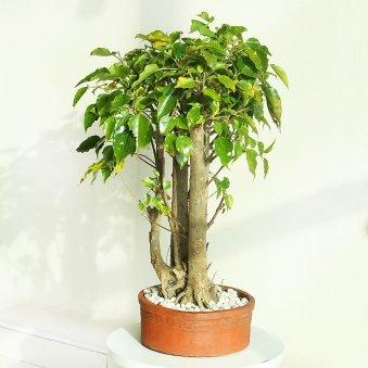 Paras Peepal Bonsai Premium Plant