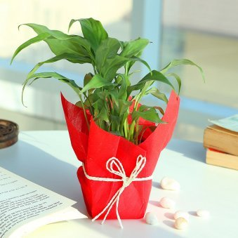 Peace Lily Happiness - Air Purifying Plant Indoors in Plastic Standard Vase