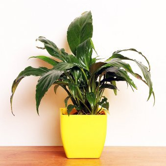 Peace Lily Online Plant in a Vase