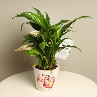 Peace lily Plant For Personalised Gift Lovers