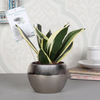 Planted Snake Plant