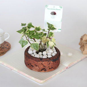 Potted English Ivy Plant: Succulent and Cactus