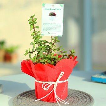 Prosperous Cactus - Succulent and Cactus Outdoors in Plastic Standard Vase