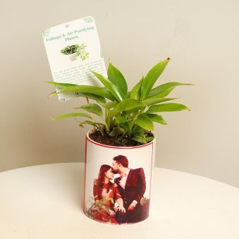 Purifying Philodendron Plant For Health Lover