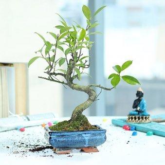 S Shape Ficus Bonsai - Bonsai Plant Outdoors in Blue Bonsai Vase