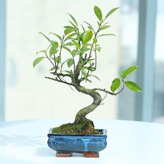 S Shape Ficus Bonsai - Outdoor Bonsai Plant in Blue Bonsai Vase