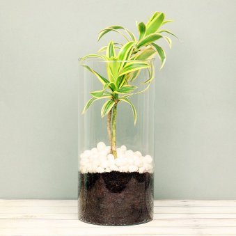 Song Of India Plant in a Glass Vase