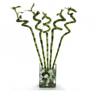 Spiral Bamboo Plant