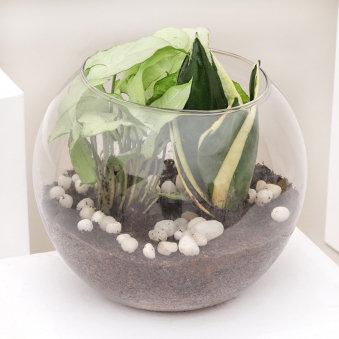 Syngonium And Sansevieria Snake Plant Terrarium