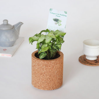 Syngonium Plant In Round Vase: Foliage