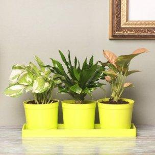 Triple Foliage Plant in a Vase