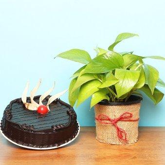 Combo of Money Plant with Truffle Cake