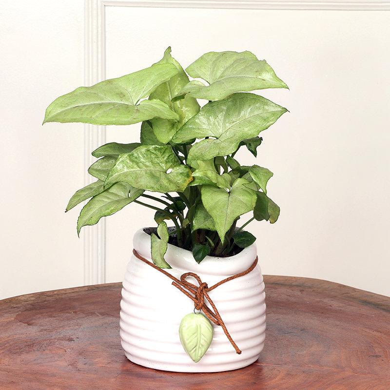 Stylish Syngonium Plant