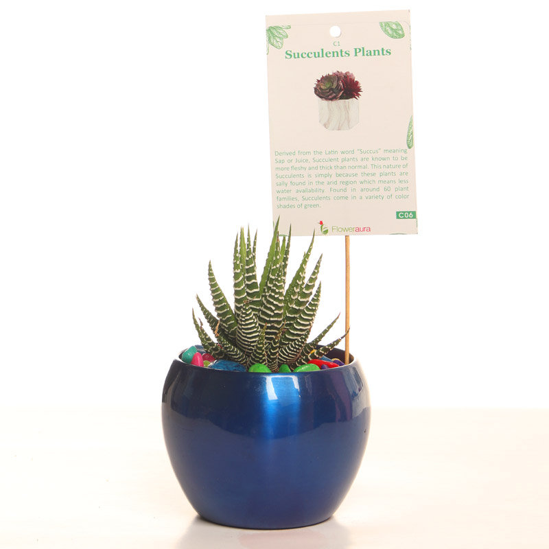 Succulent Haworthia Plant For Corporate Gifting