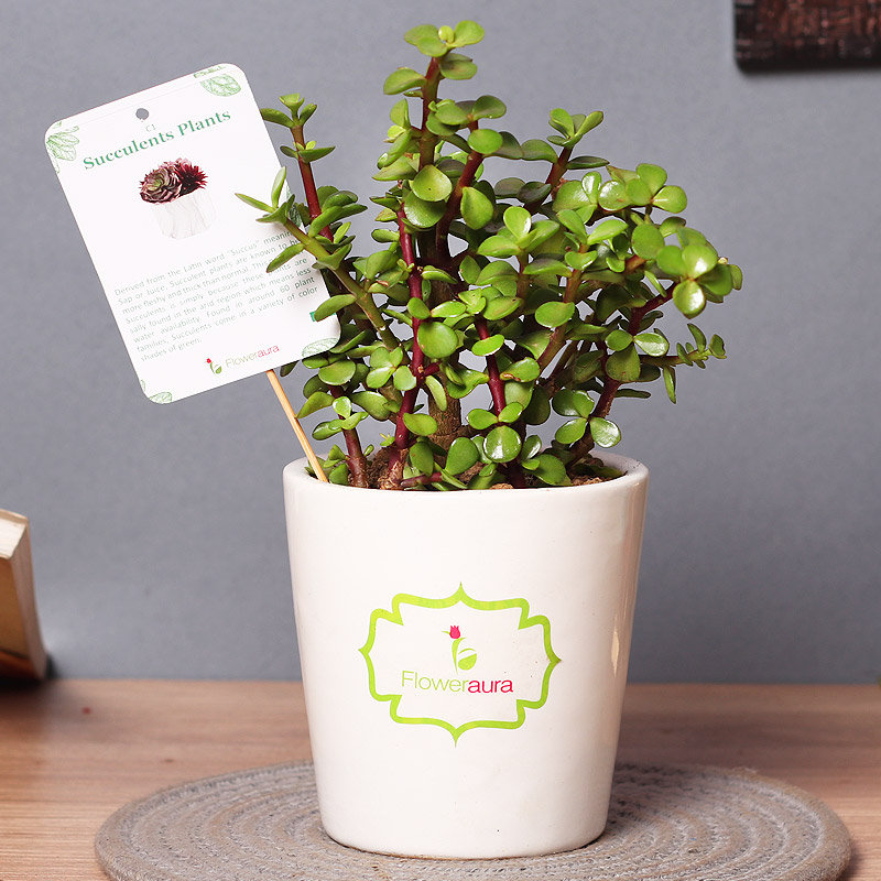 Succulent Lucky Plant - Succulent and Cactus Plant Outdoor in Signature Conical Vase