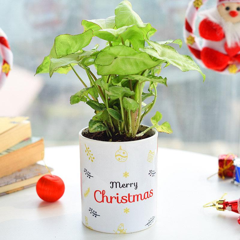 Sugarplum Syngonium Neon Plant - Foliage Plant Indoors in Mug Printed Vase