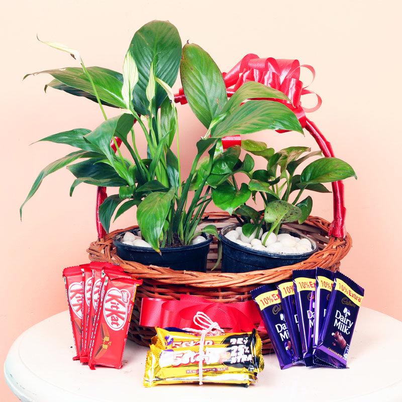Chocolates and Plants Combo