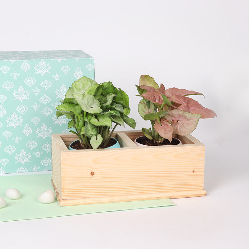 Syngonium Combo In Wooden Tray: Foliage