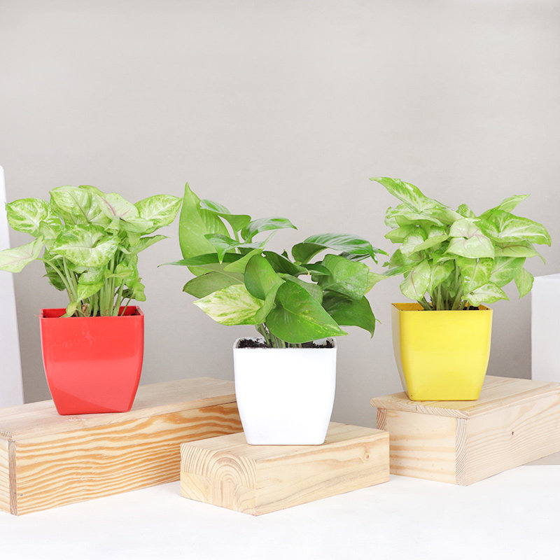 Syngonium Duo Money Combo - Good Luck and Foliage Plant Indoor in Blossom Vases
