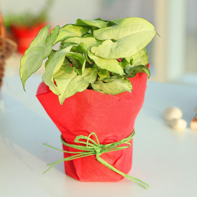 Syngonium Foliage - Foliage Plant Indoors in Plastic Standard Vas