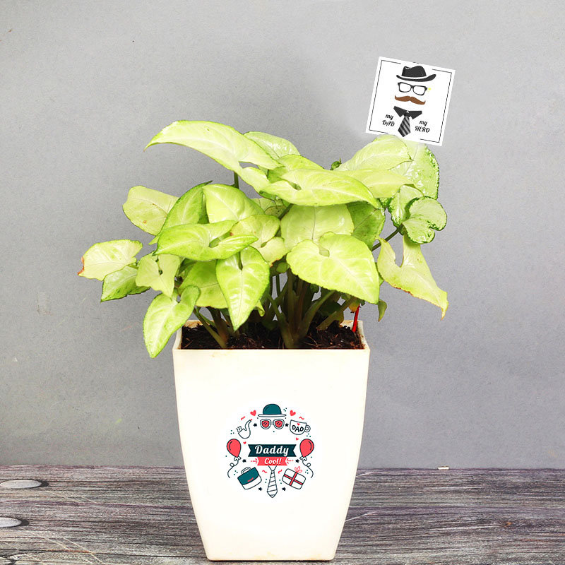 Syngonium Plant Bamboo for Father