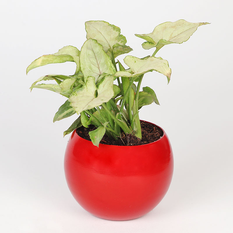 Valentines Special Gift - Syngonium Love Combo