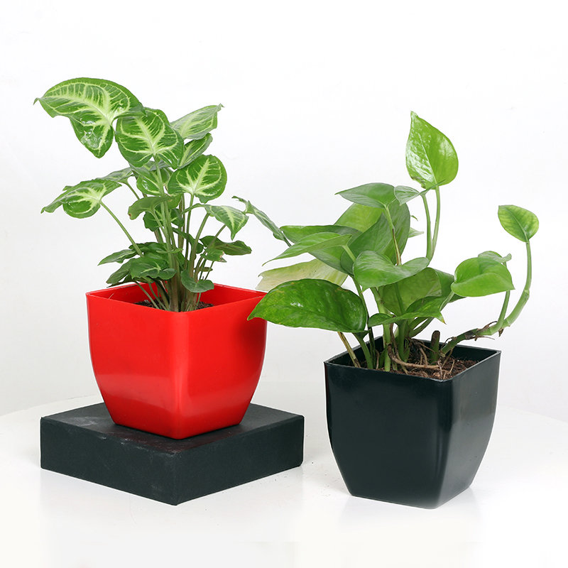 Syngonium Money Plant