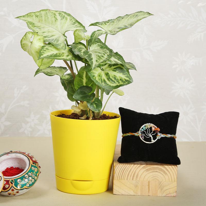 Syngonium Rakhi Plant