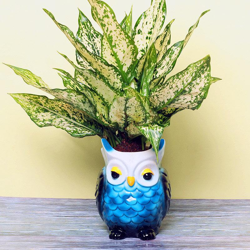 Aglonema Thai Plant in Owl Shaped Vase