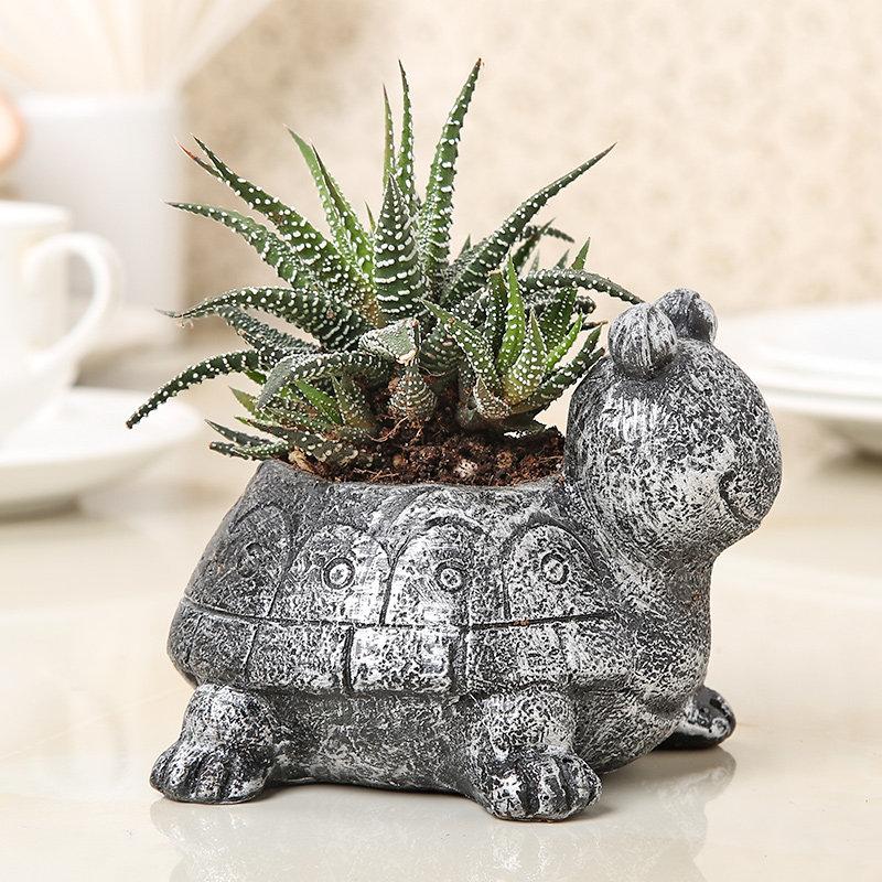 Tortoise Haworthia Plant