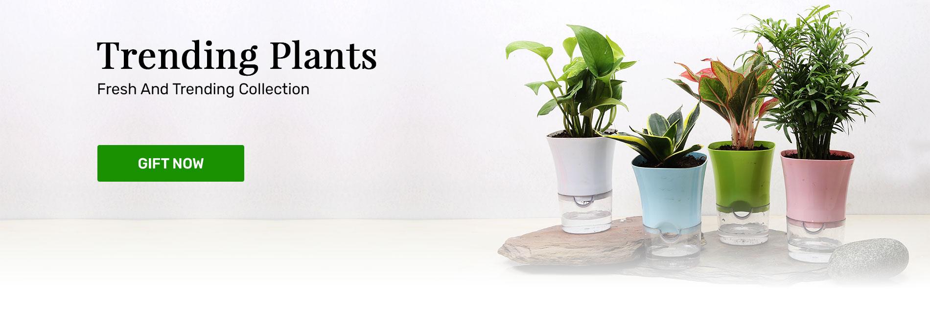 Trending Plants for Gifting