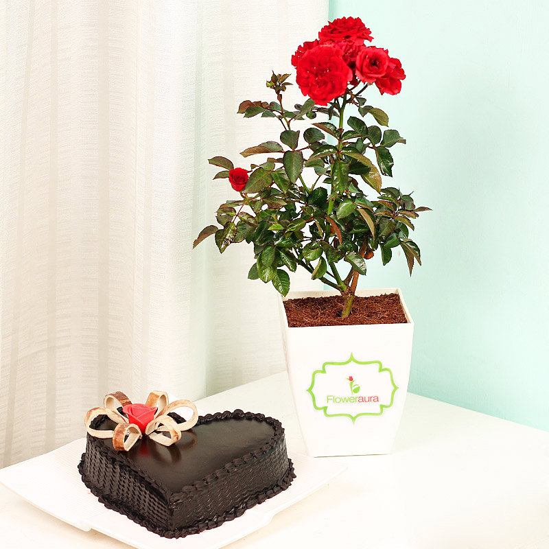 Rose Plant with Heart Shaped Truffle Cake Combo