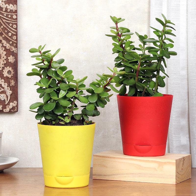Twin Jade Plants
