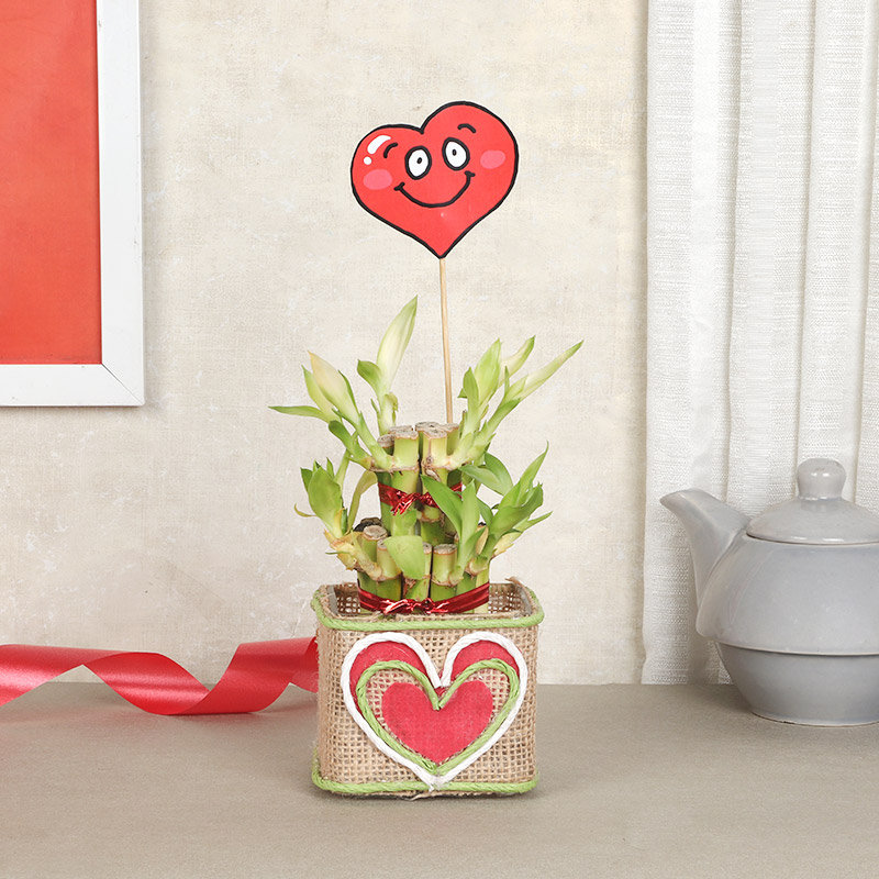 Valentines Lucky Bamboo Plant