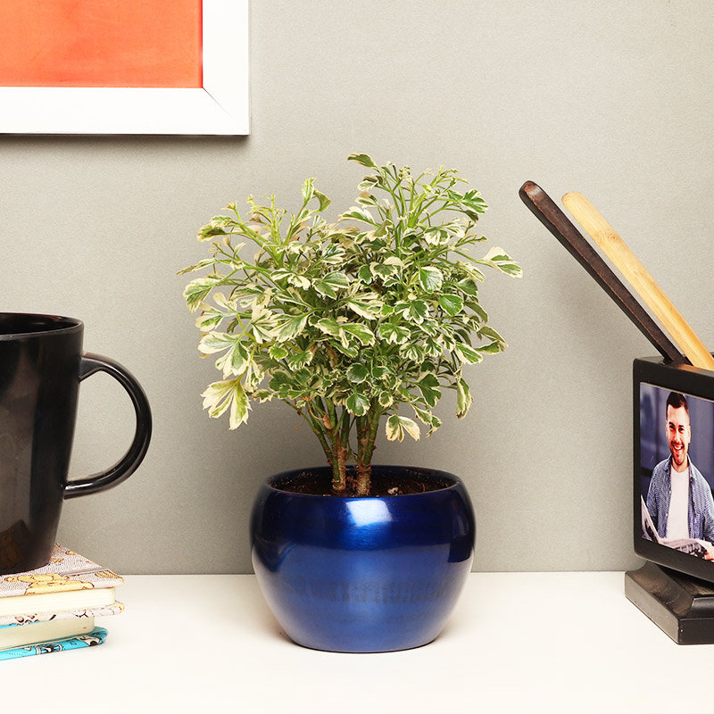 Online Plant - Varigated Aralia with Buddha in a Vase