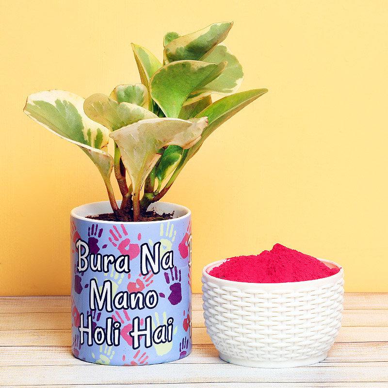Peperomia Plant with Gulal Holi Combo
