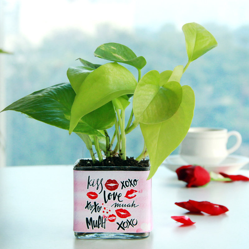 Vday Wrapped Money Plant